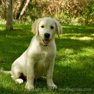 Golden Retriever Puppy Auction